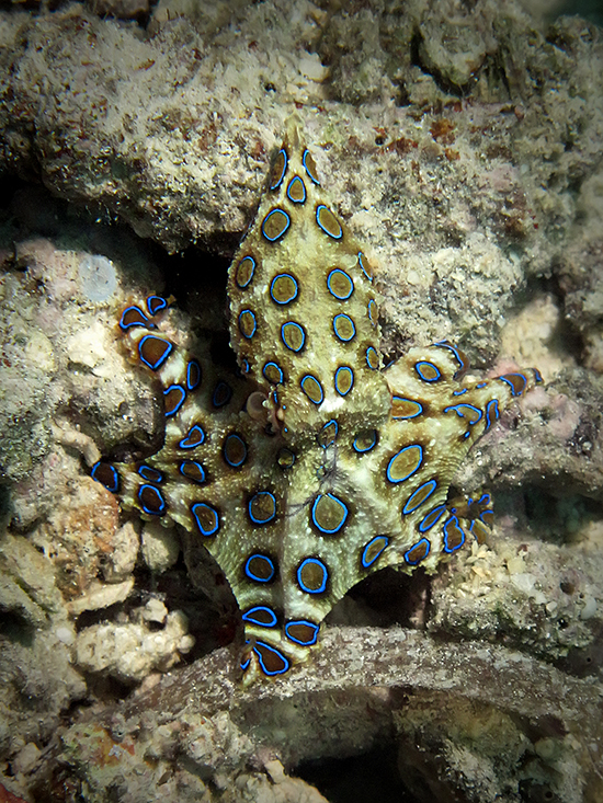 blue-ringed octopus_regy kurniawan