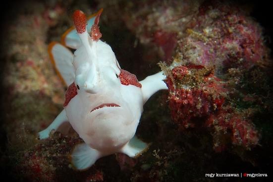 Yang terakhir, ikan kodok atau Frog Fish. Ini adalah ikan yang gak bisa berenang. Dia lebih senang jalan kaki.