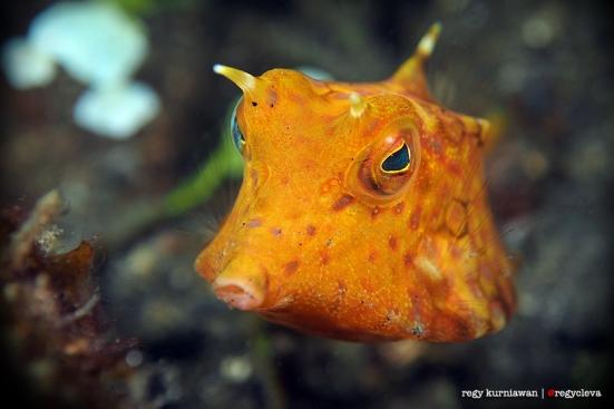 Cow Fish alias ikan sapi, kalo dideketin buat difoto doski biasanya berenang mundur. Baik banget ya? :')