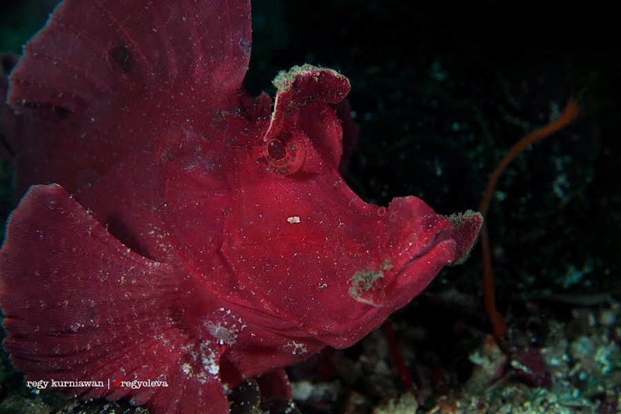 Rhinopias, salah satu jenis dari Scorpion Fish ini tinggal di kedalaman 30 meter. Gara-gara keasyikan motret doski, dive comp gue memerintahkan untuk segera melakukan ceiling di kedalaman 3 meter.