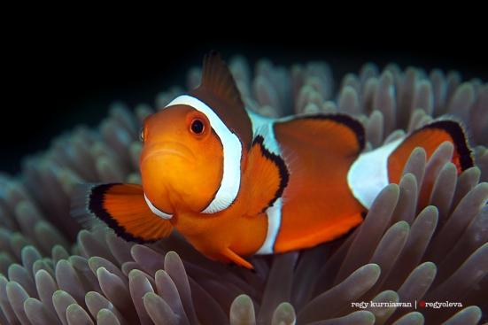 """Ikan yang terkenal berkat film """"Finding Nemo"""" ini susah banget difoto, gerak kesana kemari kayak pacet kena garam. Gue pernah menang lomba foto berkat foto Nemo, kemudian menerima sindiran dari banyak banget diver senior. Kata mereka, """"Foto Nemo kok bisa menang sih?"""""""