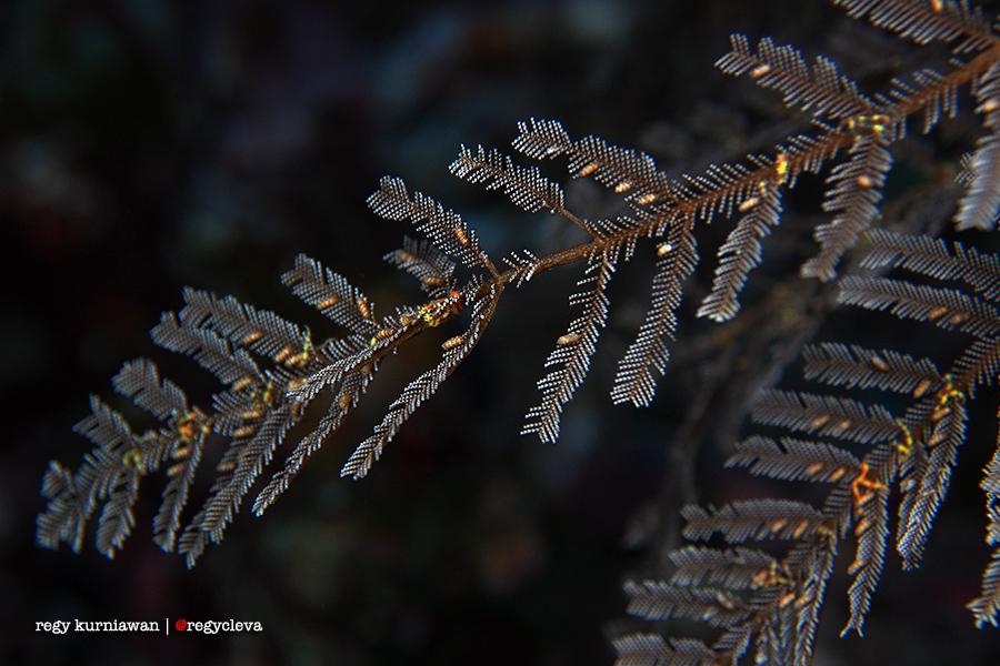 Ini dia tanaman aer favorit gue: Hydroid yang unyuuu! Tiap kali liat hydroid gue gemes banget, pengen gue kunyah-kunyah. Nyam!