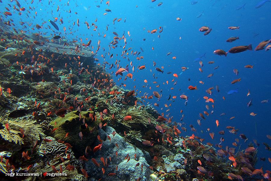 Ribuan Anthias beterbangan dihantam arus kencang di titik penyelaman Bama, selat Pantar. Ikan aja kewalahan, apalagi orang x))