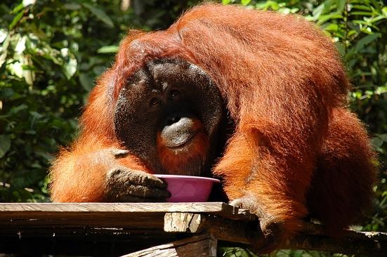 Tom, Orangutan jantan yang sudah sepuh. Tidak ada satu pun yang berani ganggu doski kalo lagi minum susu...