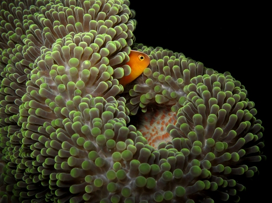 Skunk clownfish. Gorontalo. Canon G12, internal flash, speed 1/500, f/8, ISO 200.