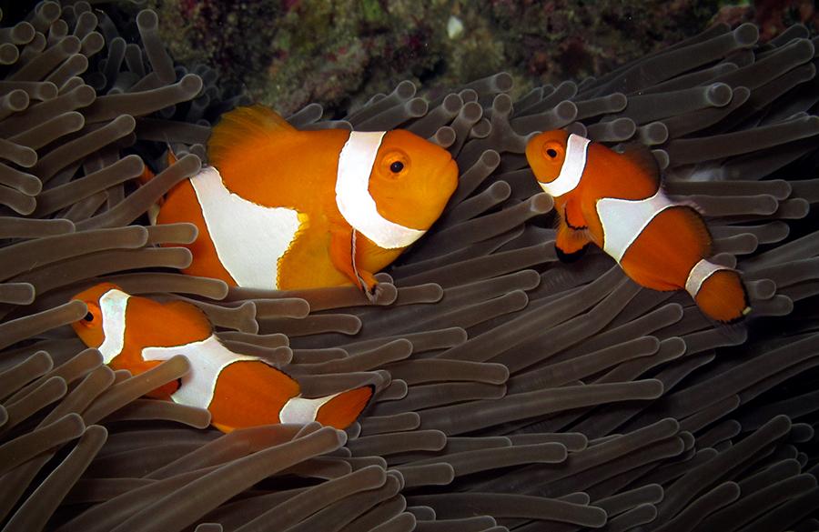 Keluarga kecil Nemo. Ketahuan kan yang mana Ibu RT-nya? Canon G12, internal flash, speed 1/250, f/8, ISO 200.