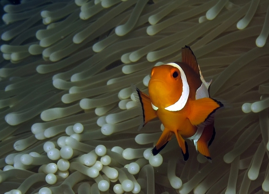 Amphipiron ocellaris alias Nemo. Bunaken - Manado. Canon G12, internal flash, speed 1/1000, f/8, ISO 100.
