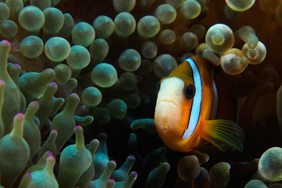 Nggak tau ini anemonefish jenis apa. Anemone City - Alor. Olympus OMD EM5, dual strobe, speed 1/180, f/8, ISO 200.
