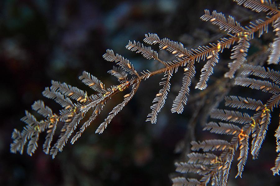Salah satu jenis Nudibranch sedang melahap Hydroid ini. Sikat brooohh uwooohh!!!
